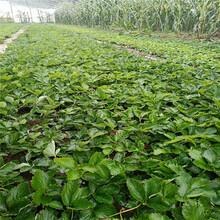 全明星草莓苗價格透明圖片