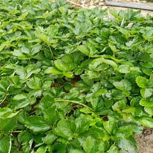 邵阳市草莓苗种植方法图片