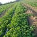 通遼市草莓苗出售