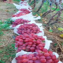 红宝石葡萄苗成活率高柳南图片