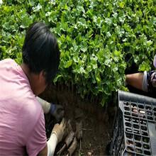 阳光玫瑰葡萄苗什么时分种植好霞浦图片