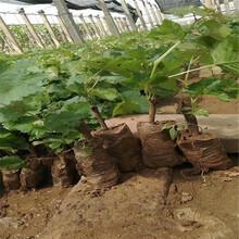 陽光玫瑰葡萄苗種植方法永昌圖片