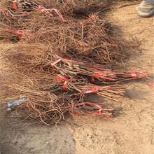 紅寶石葡萄苗免費提供技術古丈圖片