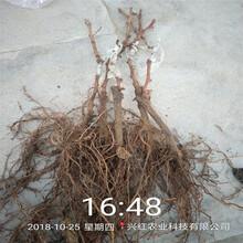 陽光玫瑰葡萄苗超低價廠家直銷柘榮圖片