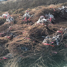 紅寶石葡萄苗廠家直銷阿克蘇圖片