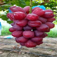 红宝石葡萄苗成活率高龙华图片