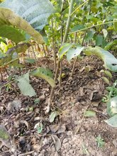 香玲核桃树苗出售、香玲核桃树苗价格及基地