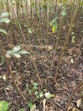 香玲核桃树苗价格、香玲核桃树苗基地