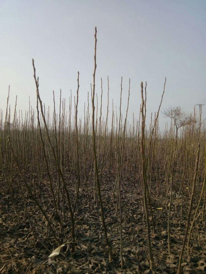 一公分香玲核桃树苗、香玲核桃树苗出售基地