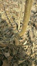 香玲核桃树苗多少钱、香玲核桃树苗多少钱一株