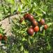 新品種冬棗樹苗價格、冬棗樹苗出售價格