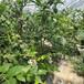 新藍豐藍莓苗、藍豐藍莓苗價格及基地