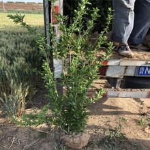 山東軟籽石榴苗、軟籽石榴苗價錢圖片