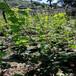 出售奇异果树苗、奇异果树苗品种