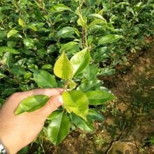 葫蘆島新梨七號梨樹苗價格透明圖片