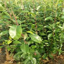 福州全紅梨樹苗超低價圖片