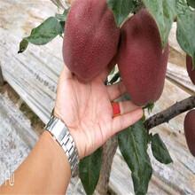 銅仁美人酥梨樹苗一畝地需要圖片