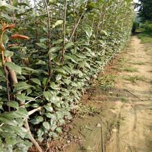 長沙蘇翠1號梨樹苗種植方法圖片