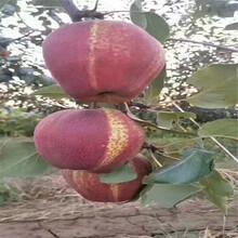 赤峰木瓜梨樹苗超低價廠家直銷圖片
