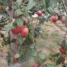 柳州蘇翠1號梨樹苗一畝地需要圖片