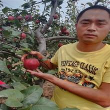 迪慶袖珍香梨樹苗豐產量產圖片