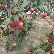 商丘滿天紅梨樹苗育苗注意事項圖片