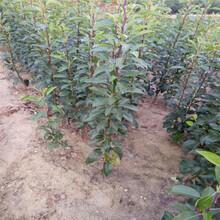 北京木瓜梨樹苗一畝地需要圖片