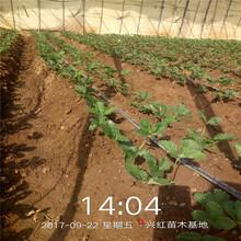 達州市京凝香草莓苗一畝地需要圖片