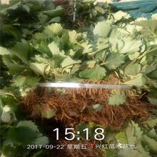 紹興市泰麗草莓苗種植方法圖片