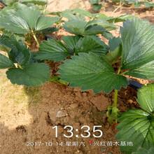 咸陽市泰麗草莓苗品種多成活率高質量好圖片