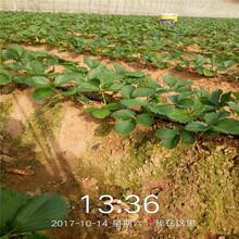 孝感市奶油草莓苗种植示范基地图片