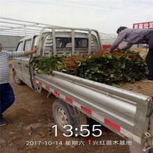 臺南市大棚草莓苗超低價廠家直銷圖片