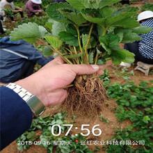 北京豐香草莓苗優質高產圖片