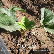 巴彥淖爾市奧巴草莓苗品種純正假一賠十圖片