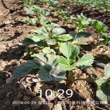 浙江省紅袖添香草莓苗免費提供技術圖片