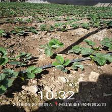 拉薩市巧克力草莓苗價格行情圖片