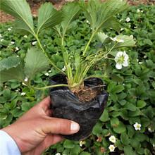 海東地區圣誕紅草莓苗免費提供技術圖片