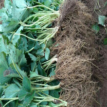 河南省阿瑪奧草莓苗100棵起售圖片