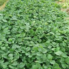 阿拉善盟京御香草莓苗成活率高图片