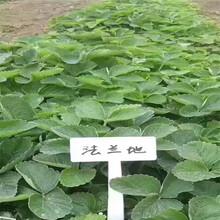 雞西市京承香草莓苗豐產量產圖片