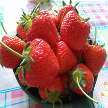 伊犁州章姬草莓苗规格齐全图片