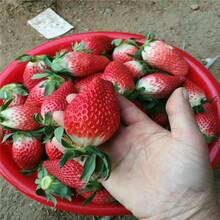 红颜草莓苗、红颜草莓苗价位图片