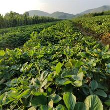 揚州市奶油草莓苗低價搶購圖片