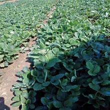 西雙版納州甜查理草莓苗歡迎前來咨詢圖片