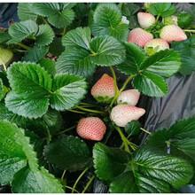 延边州京凝香草莓苗种植技术指导图片