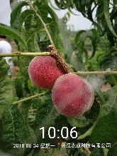 永莲蜜桃树苗出售、永莲蜜桃树苗基地图片