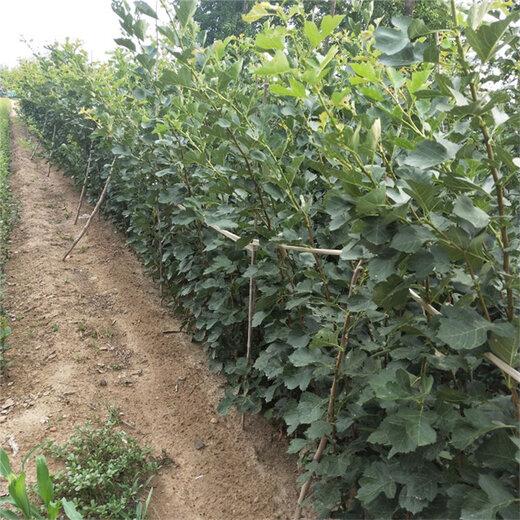 种植山楂苗1棵多少价格海南省