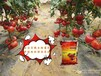 金寶貝微生物菌劑種植西紅柿品質優
