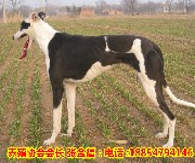 比利时马犬哪里卖,马犬最新价格图片