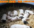 山东大型养狗场出售马犬马犬价格马犬多少钱一只